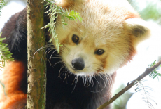 Roter Panda und Kinder im Kängurubeutel